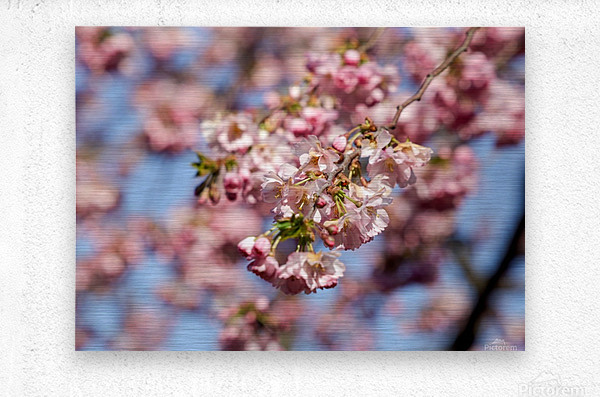 Cherry blossom Red  Metal print