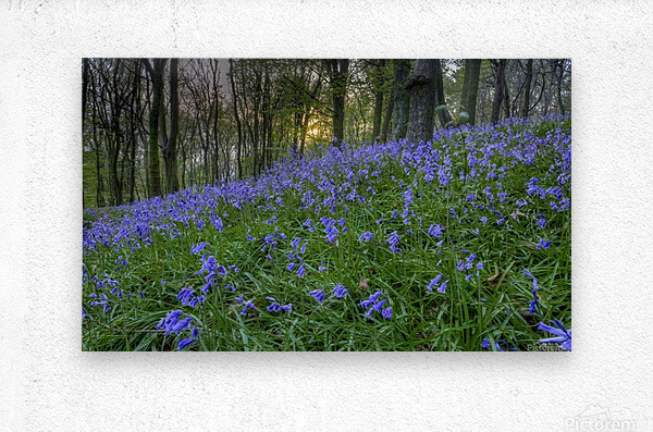 Sunset at Bluebell Wood in Margam  Metal print