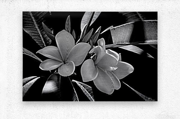Plumeria In Black And White  Metal print