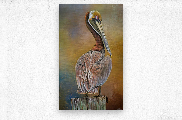 Brown Pelican In Breeding Plumage  Metal print