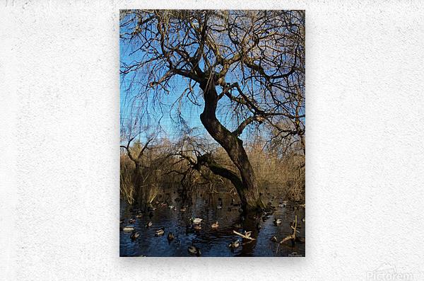 Bow Park duck pond  Metal print