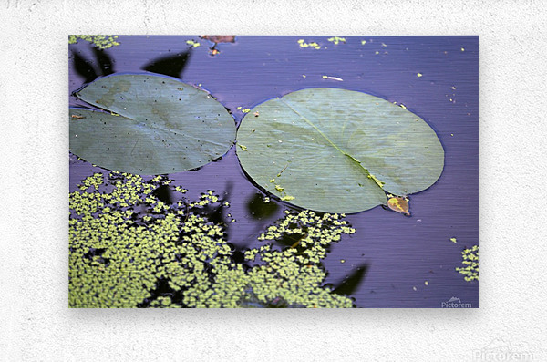 Lily Pads and Duckweed Dow Gardens 2018  Metal print