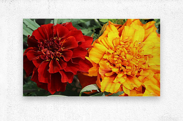 Red and Yellow Marigolds 062718  Metal print