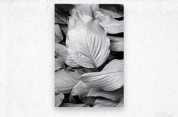 Softly Curving Foliage BW 062618  Metal print