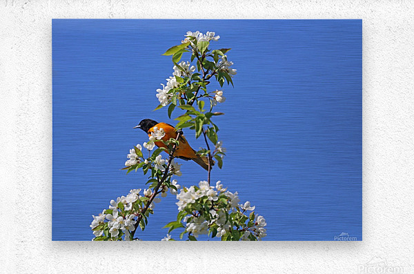 Oriole And White Blossoms  Impression metal