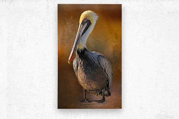 Brown Pelican Portrait  Metal print