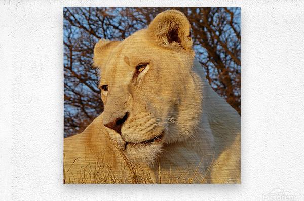 White Lioness Sunset 593  Metal print
