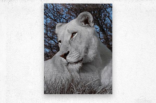 White Lion Female 1030593  Metal print