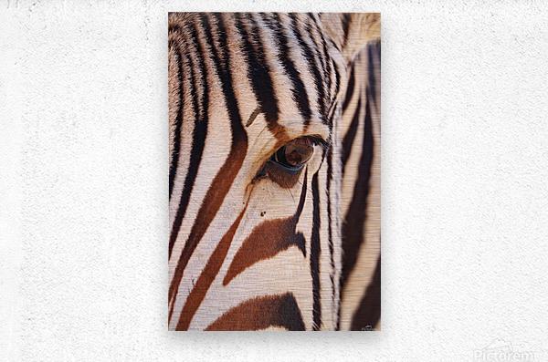 Zebra Eye 1873  Metal print