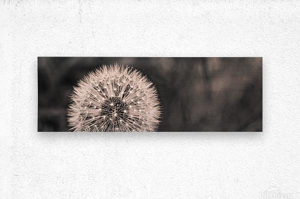 Late Season Dandelion 2  Metal print