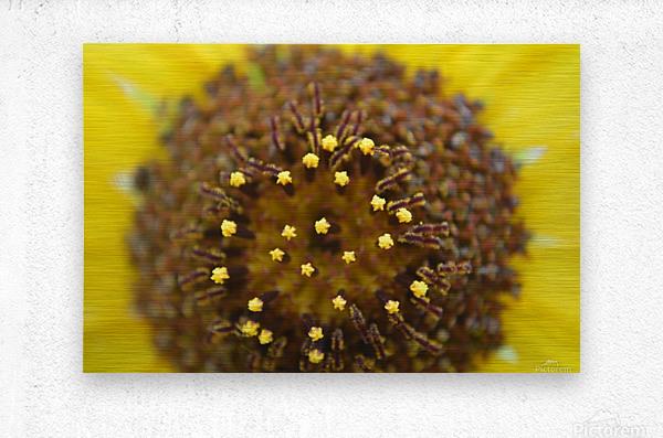 Sunflower Stars  Metal print