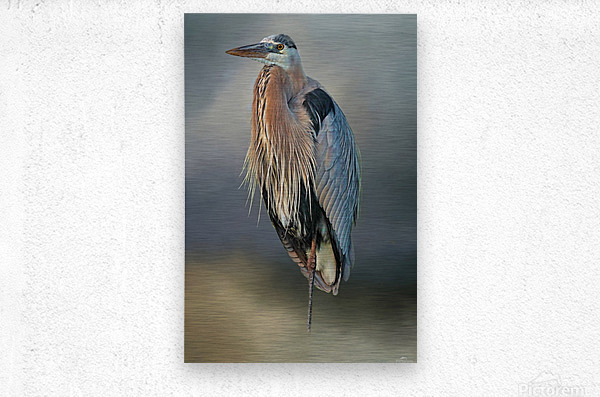 Great Blue Heron At Rest  Metal print