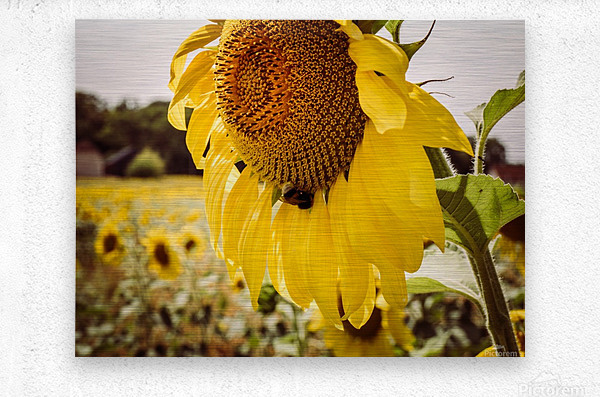 Sunflower with Bee  Metal print