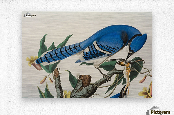 Blue Jay familly  Metal print