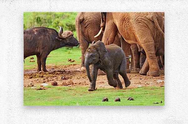 Elephant Baby 582  Metal print