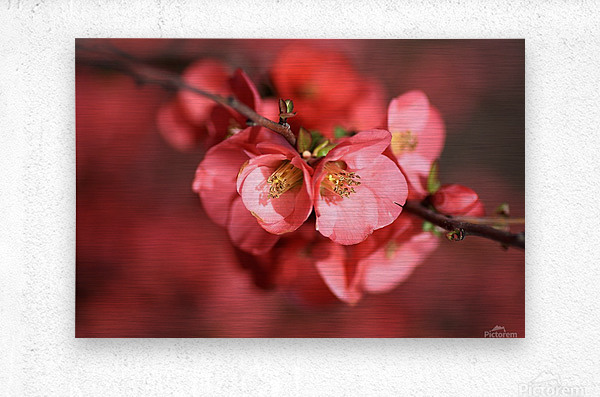 Flowering Quince Of Spring  Metal print