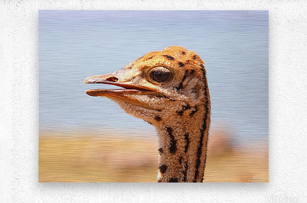 Baby Ostrich 5378  Metal print