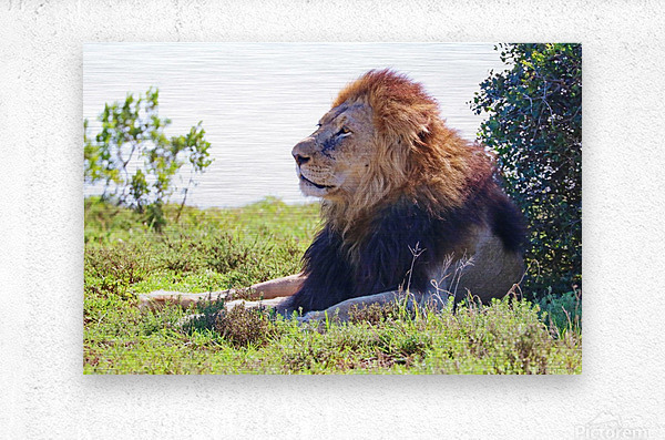 Lion Male in Addo 9240  Metal print
