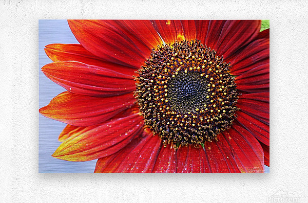 Ruby Red Sunflower  Metal print