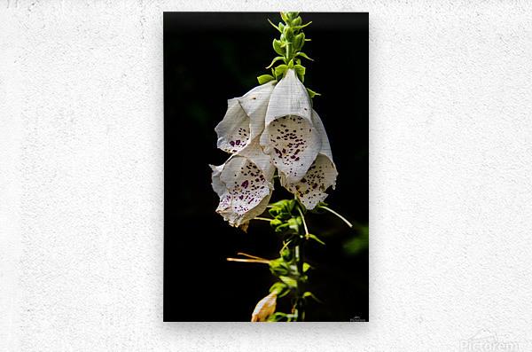Foxgloves Flowers  Metal print