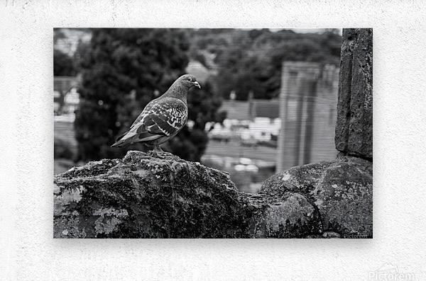 Black and White Pigeon  Metal print