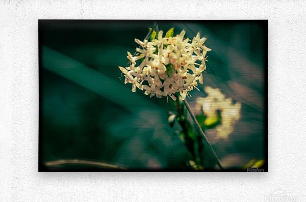 Rice Flower  Metal print