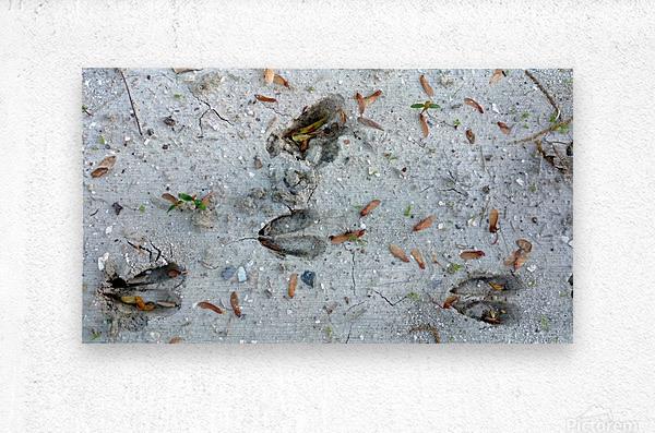 Carolina Deer Tracks  Metal print
