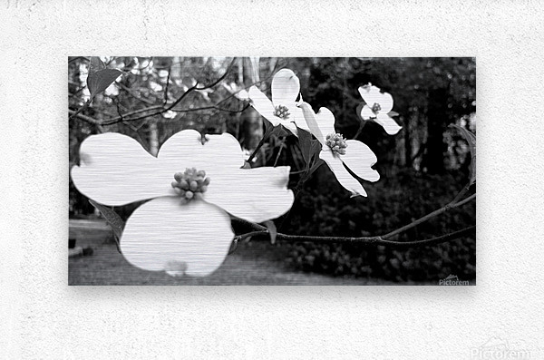 North Carolina Dogwood Flowers   Metal print