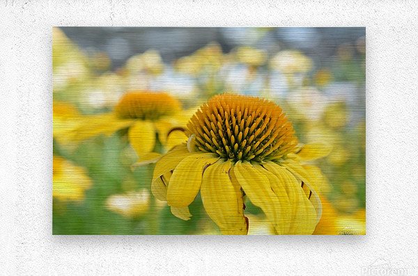 Yellow Flowers Photography  Metal print