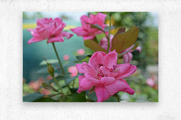 Pink Rose Garden Photograph  Metal print