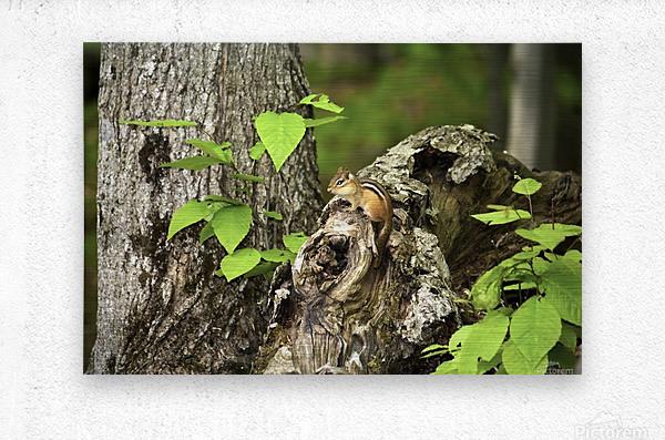 Chipmunk on tree  Metal print