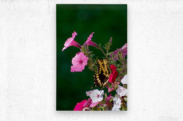 Butterfly on petunias  Metal print