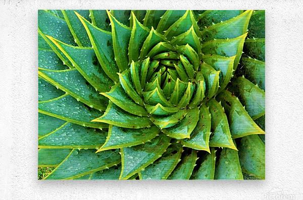 Cactus Spiral  Metal print