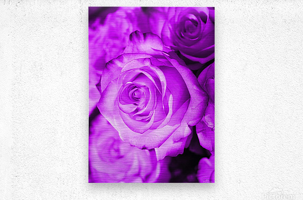 Rose purple   Metal print