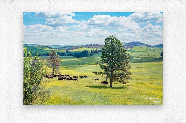 Custer State Park Bison  Metal print
