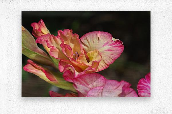 Gladiolus Display  Metal print