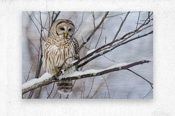 Barred Owl on a Snowy Branch  Metal print