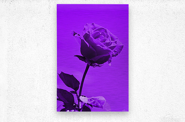Love Rose purple 8665  Metal print