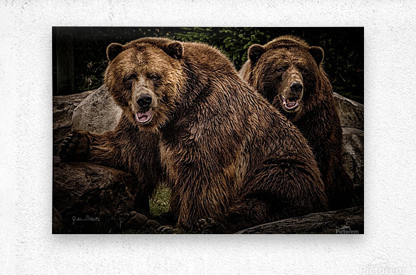 Brown Bear Brothers  Metal print