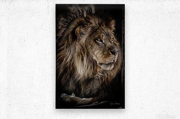 A Lions Profile  Metal print