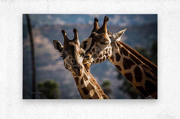 Loving Giraffes  Metal print