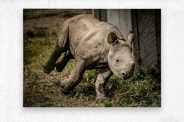 Baby Rhino  Metal print