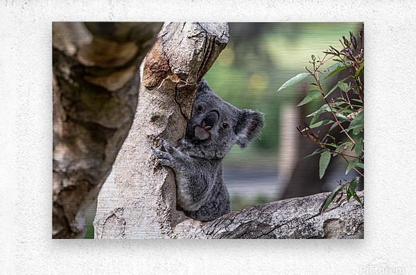 Australias Own Koala Bear  Metal print