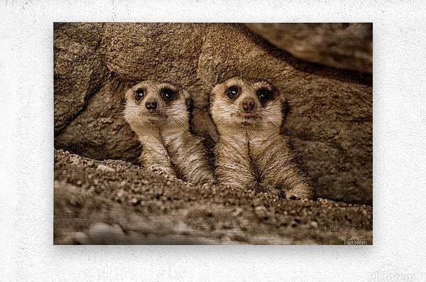 The Meerkat Twins  Metal print