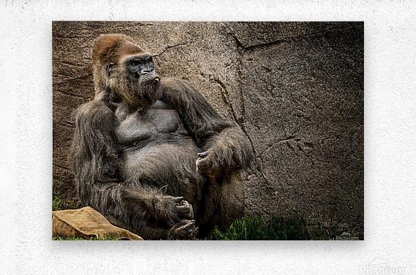 Big Daddy Silverback Gorilla  Metal print