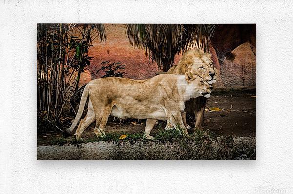 The Loving Lion Couple  Metal print