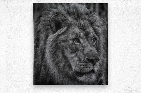 Artistic black and white Lion  Metal print