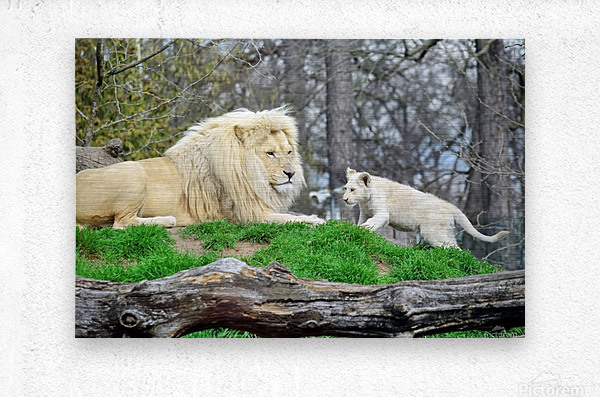 White Lion with Baby  Metal print