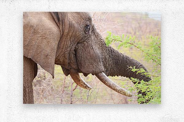 Elefant 6770  Metal print