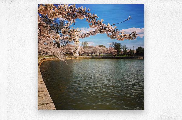 Cherry Blossom Branch  Metal print